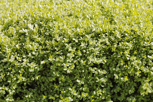 How-to-Grow-Boxwood-Shrubs-dk-landscaping-CA